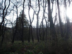 Tzeachten Black Loctus Trees